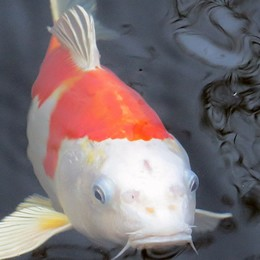 View our Koi for sale